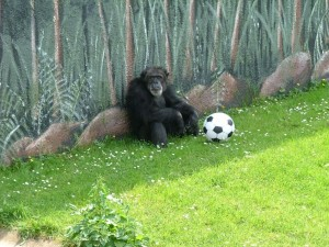 One of the chimpanzes at Flamino Land playing a spot of footy! (image credit; picturesofengland.com)