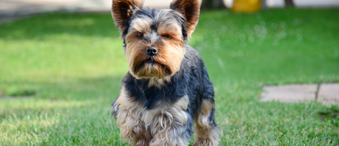Yorkshire Terriers I M From