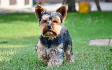 Yorkshire-Terriers