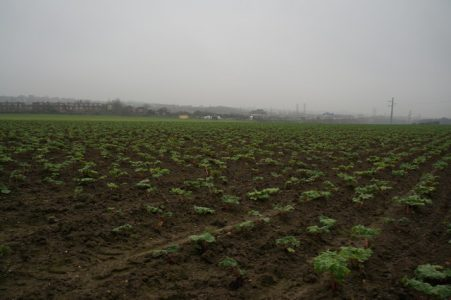 Yorkshire forced rhubarb fields can be seen near Wakefield. Picture credit: Ian S
