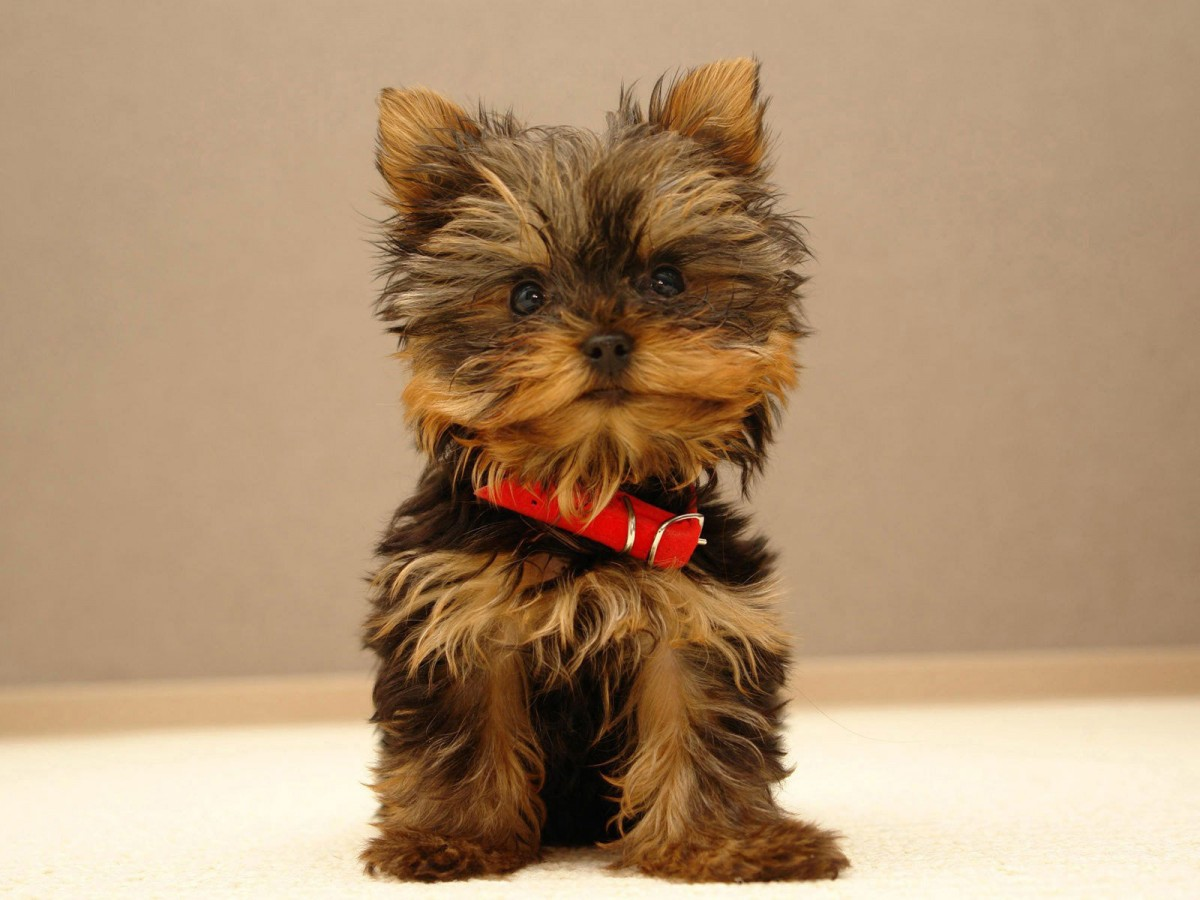 Teacup Yorkie Puppies I M From Yorkshire