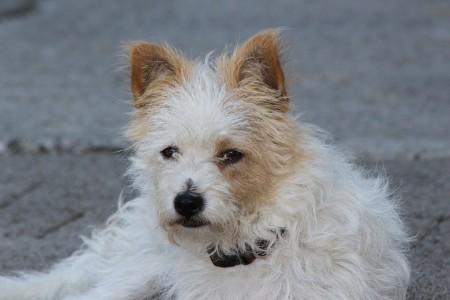 yorkshire-terrier-299728_960_720