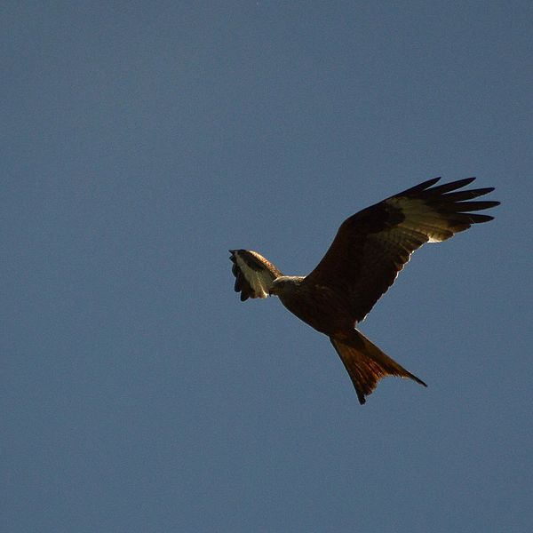 Red Kites can be commonly seen over this reserve. Picture credit: Jacob Spinks, wikipedia Creative commons.