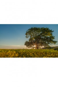 In the Shadow of the Old Oak (Pickering, N. Yorks)