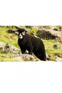 Herdwick Lamb (Bandit)