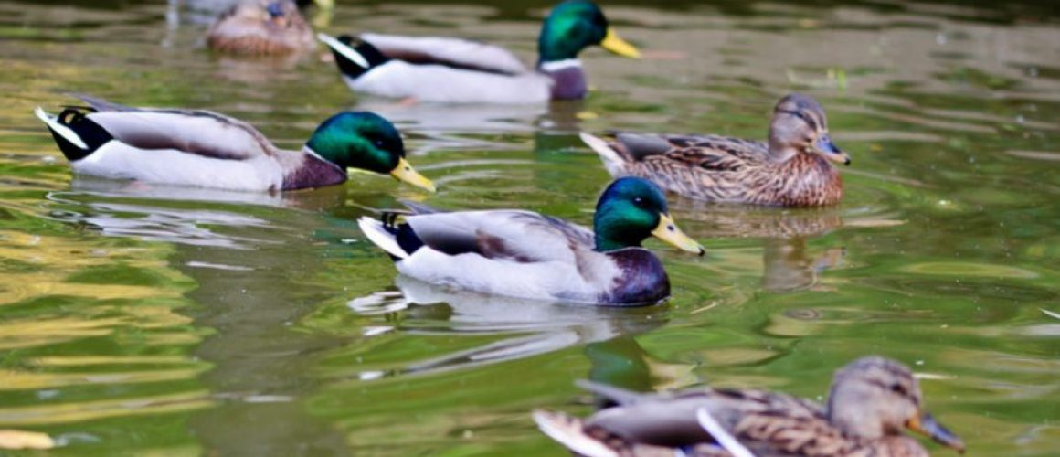 Several ducks swimming in a small pond